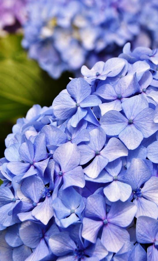 Flores de hidrangea azul fotos de archivo