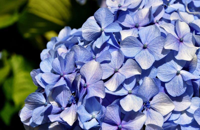 Flores de hidrangea azul imágenes de archivo libres de regalías