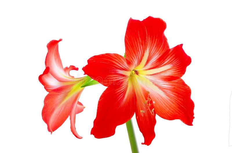 Flores de Hippeastrum foto de stock