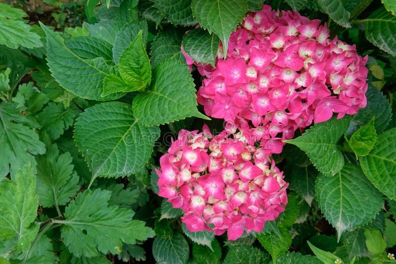 Flores de Hoya Carnosa fotos de stock royalty free