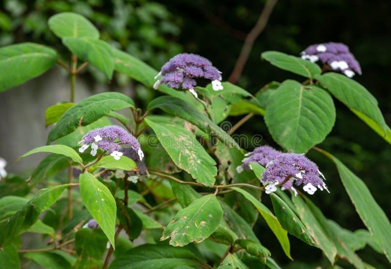 Flores de Hydrangea Aspera cultivadas en el jardín imagen de archivo libre de regalías