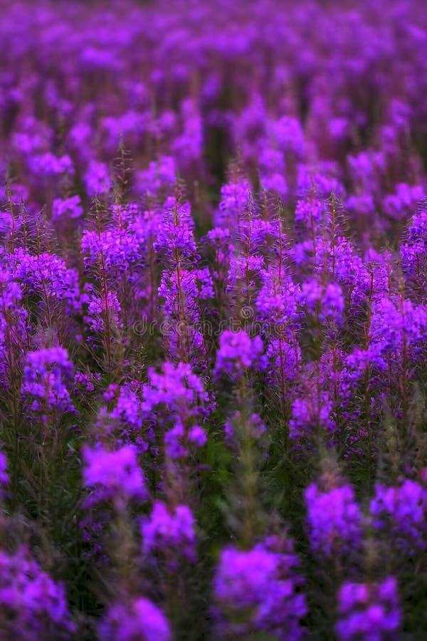 Flores de Iván-té, campo rosa brillante imagen de archivo libre de regalías
