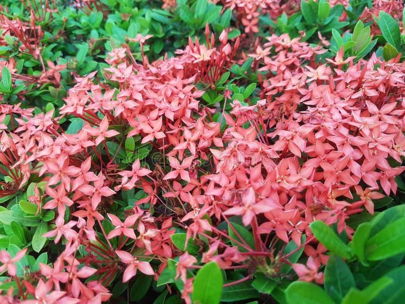 Flores de Ixora fotografia de stock