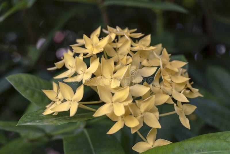 Flores de Ixora del color o geranio o llama lindo amarillo del bosque de la selva, coccinea de la selva de Ixora fotografía de archivo libre de regalías