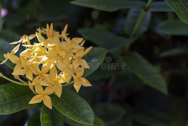Flores de Ixora del color o geranio o llama lindo amarillo del bosque de la selva, coccinea de la selva de Ixora foto de archivo libre de regalías