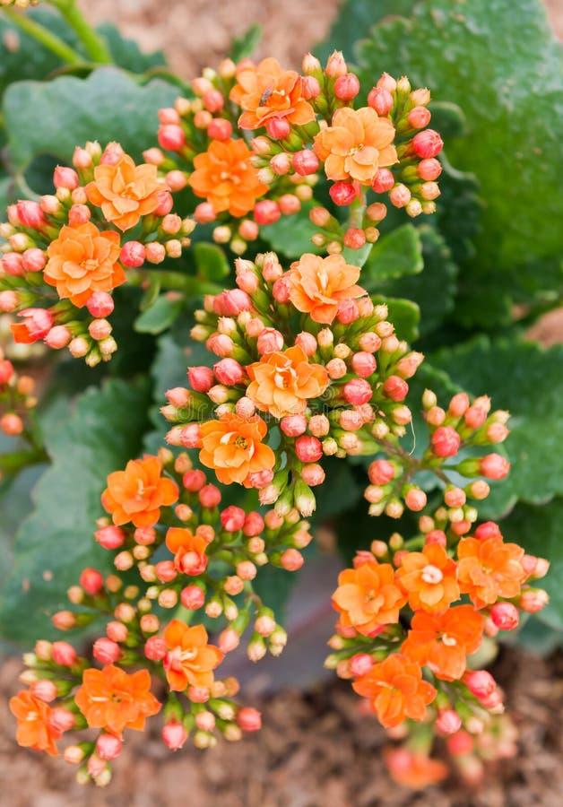 Flores de Kalanchoe Calandiva fotos de archivo