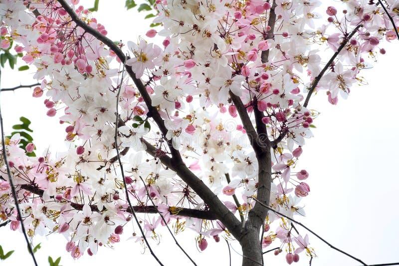 Flores de Kanlapaphruek foto de archivo libre de regalías
