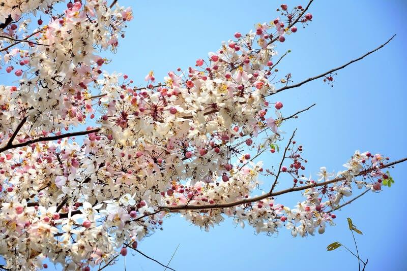 Flores de Kanlapaphruek imagen de archivo libre de regalías