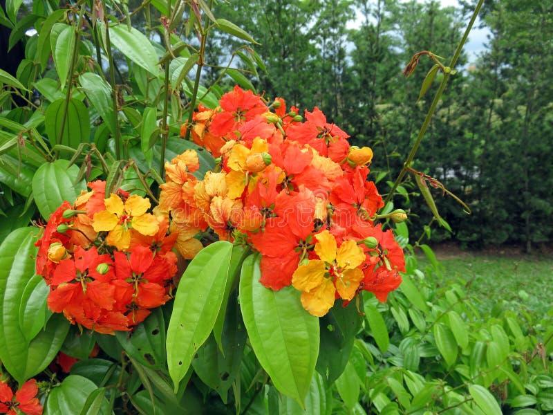 Flores de Kockiana do Bauhinia foto de stock