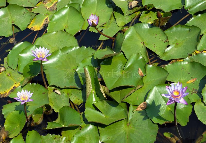 Flores de lótus azuis num lago Srimangal na Divisão Sylhet, Bangladesh fotos de stock royalty free