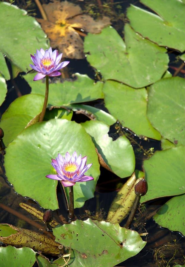 Flores de lótus azuis num lago Srimangal na Divisão Sylhet, Bangladesh imagens de stock