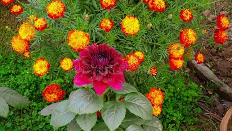 Flores de lótus coloridas em Ásia foto de stock royalty free
