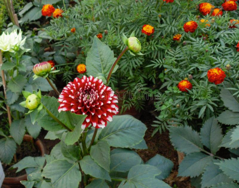 Flores de lótus coloridas em Ásia imagem de stock royalty free