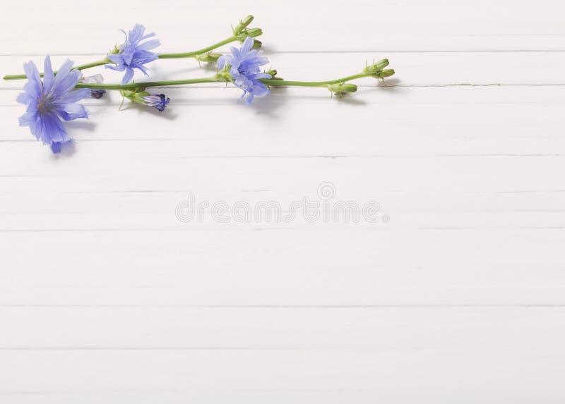 Flores de la achicoria en el fondo de madera blanco imágenes de archivo libres de regalías