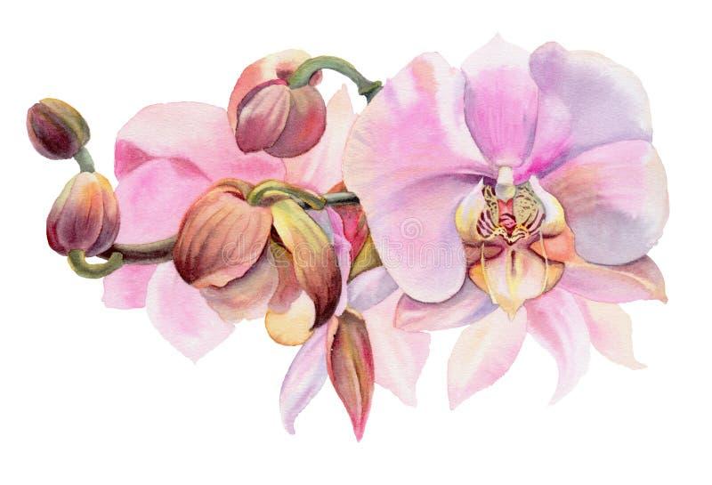 Flores de la acuarela Orquídeas rosadas libre illustration