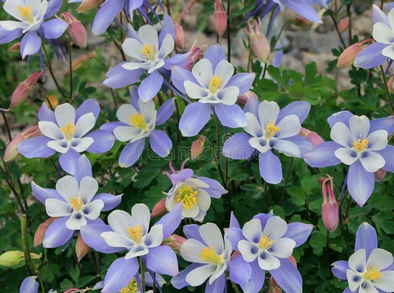 Flores de la aguileña de Colorado fotos de archivo libres de regalías