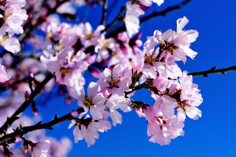 Flores de la almendra imagenes de archivo