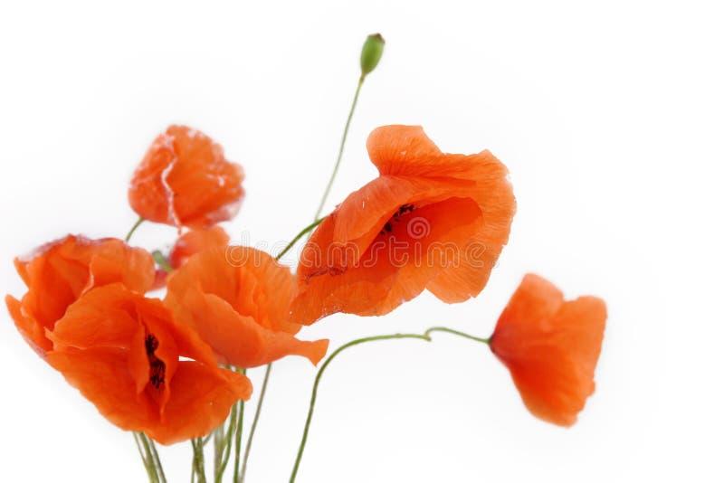 Flores de la amapola imagen de archivo libre de regalías