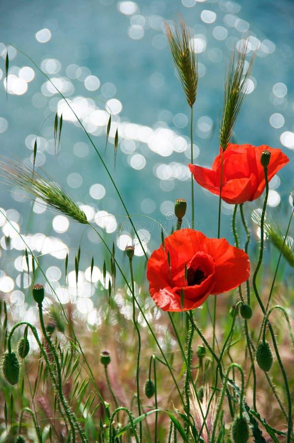 Flores de la amapola contra el agua imagenes de archivo