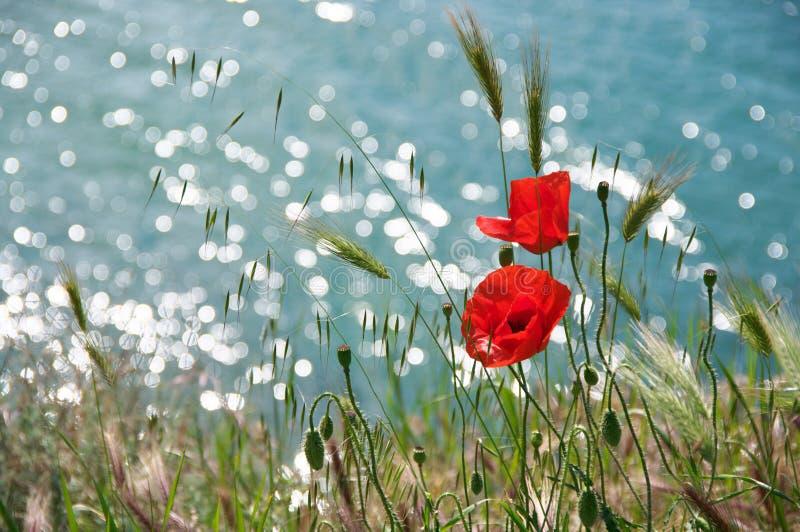Flores de la amapola contra el agua fotografía de archivo