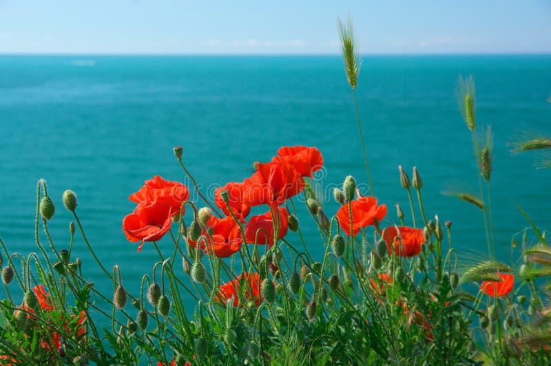 Flores de la amapola contra el mar foto de archivo