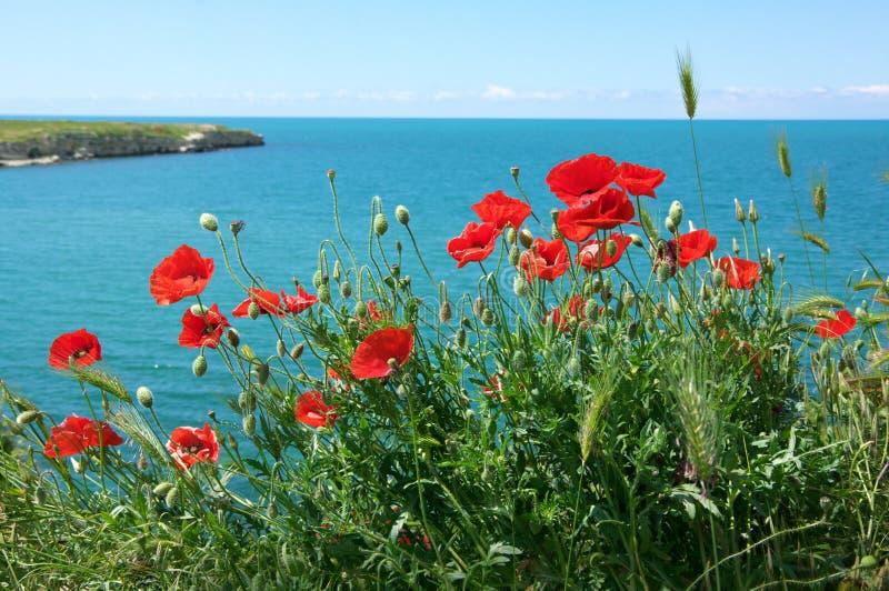 Flores de la amapola contra el mar imagen de archivo libre de regalías