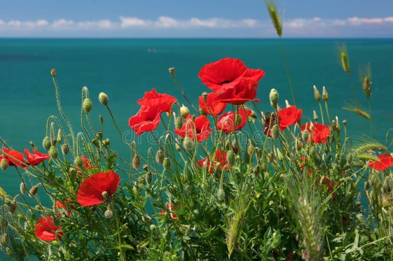 Flores de la amapola contra el mar foto de archivo libre de regalías
