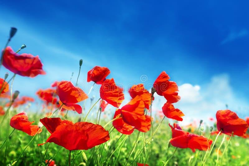 Flores de la amapola en campo imagen de archivo libre de regalías
