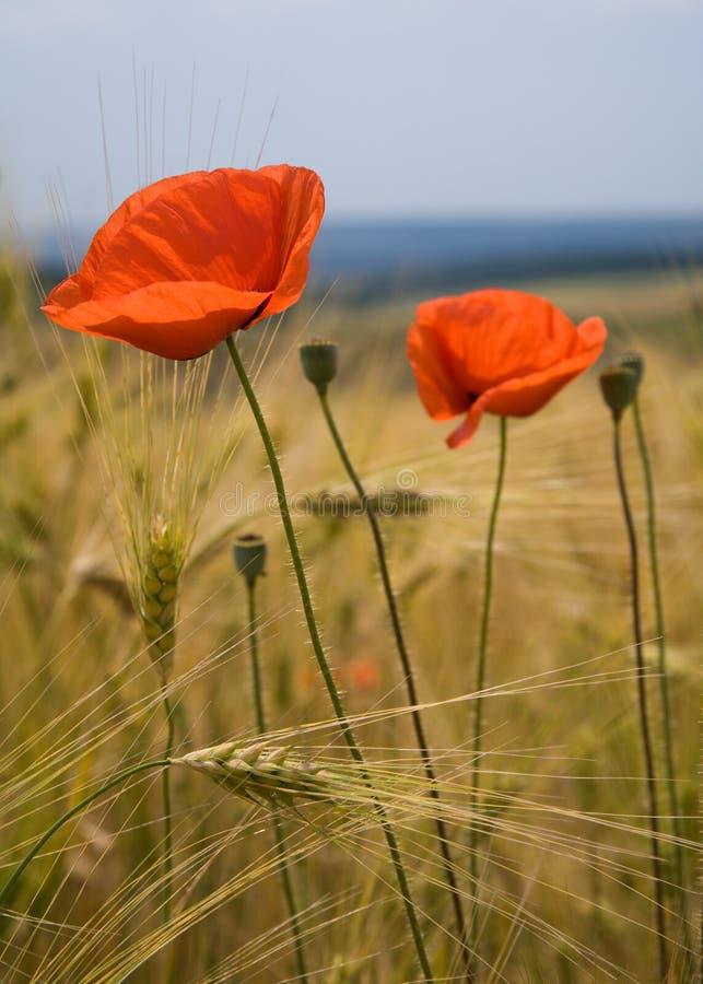 Flores de la amapola en campo de trigo imagenes de archivo