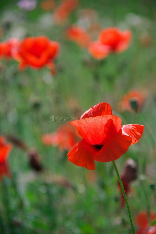 Flores de la amapola en hierba imágenes de archivo libres de regalías