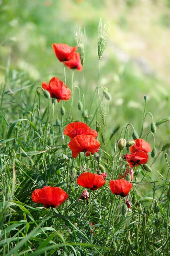 Flores de la amapola en hierba fotografía de archivo libre de regalías