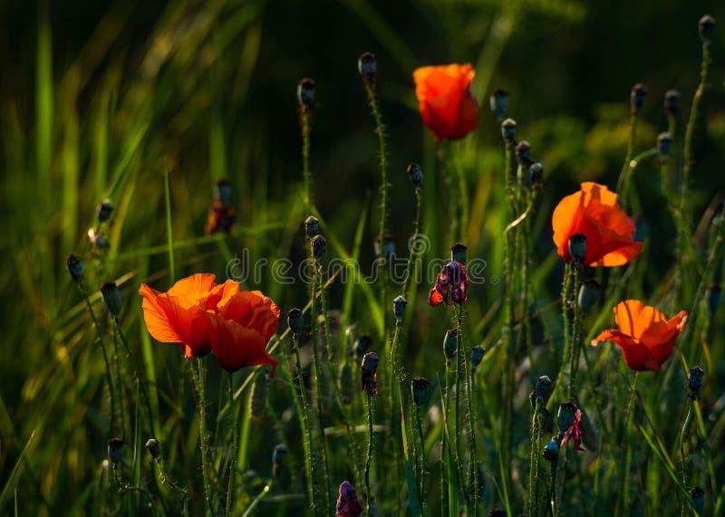 Flores de la amapola en prado imagen de archivo libre de regalías