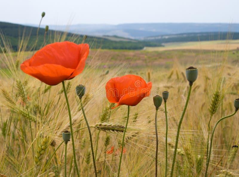 Flores de la amapola y campo de trigo foto de archivo