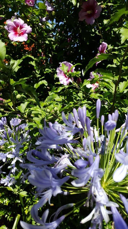 Flores de la angélica y del hibisco imagen de archivo