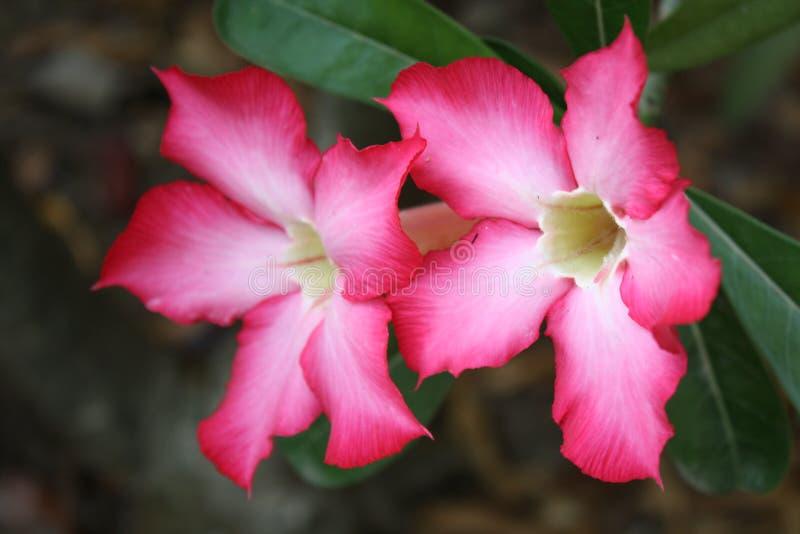 Flores de la azalea foto de archivo