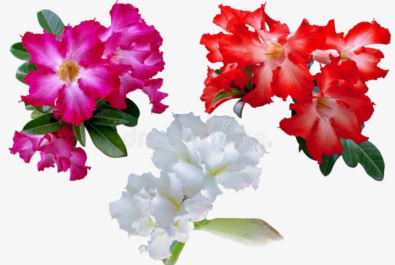 Flores de la azalea aisladas en el fondo blanco imagenes de archivo