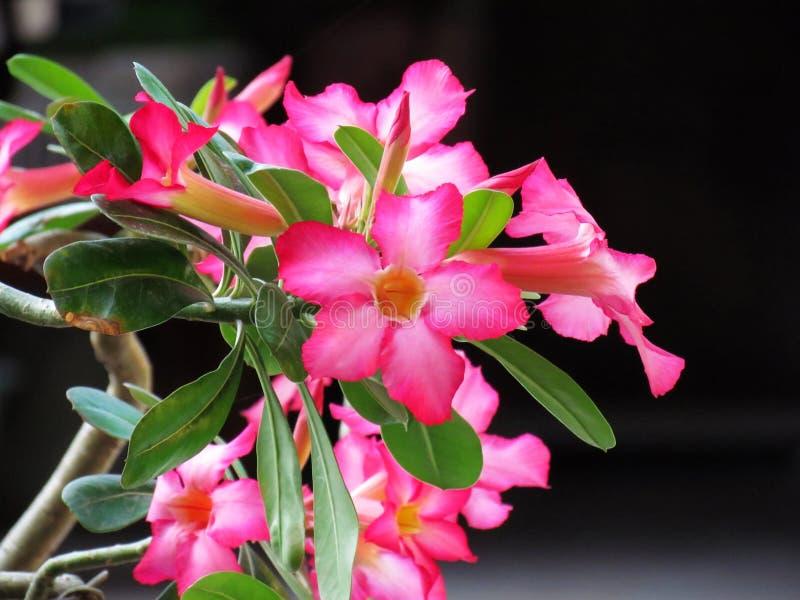 Flores de la azalea o flores coloridos de la azalea de la mofa del lirio del Rose-impala del desierto en la plena floración en fo imágenes de archivo libres de regalías