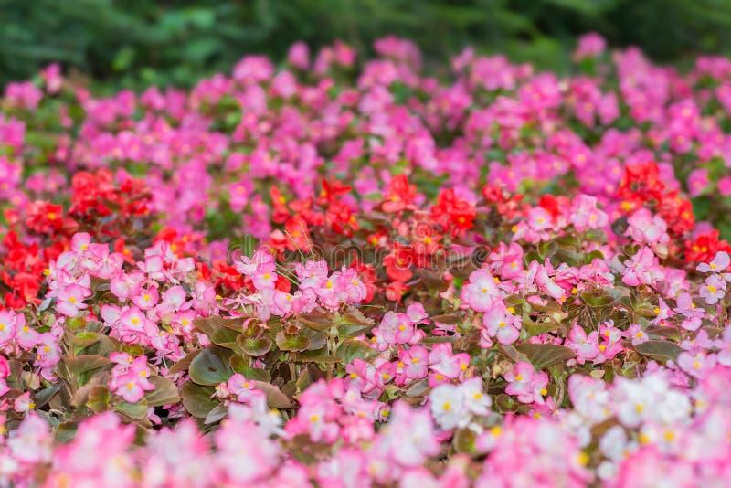 Download Flores De La Begonia Coloreada Fondo Rosado Natural Foto de archivo - Imagen de cubo, color: 100526840