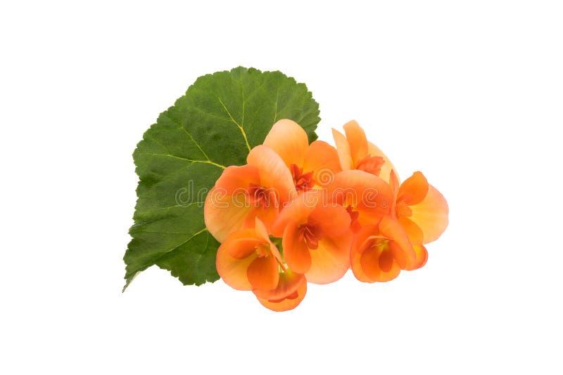 Flores de la begonia con la hoja fotografía de archivo
