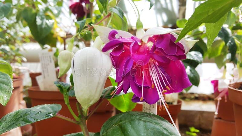 flores de la begonia en Sofia Botanical Garden imagen de archivo libre de regalías