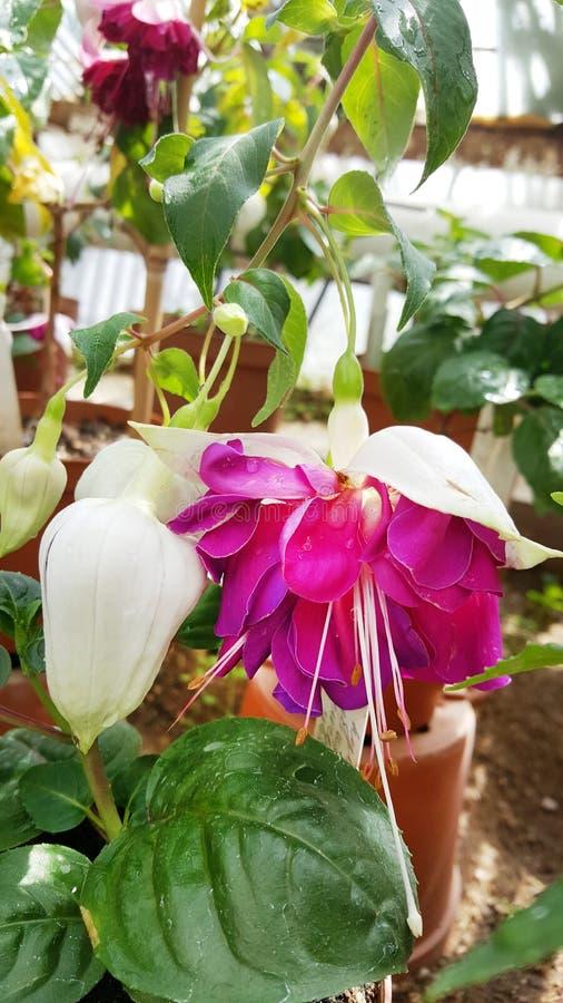 flores de la begonia en Sofia Botanical Garden imagen de archivo