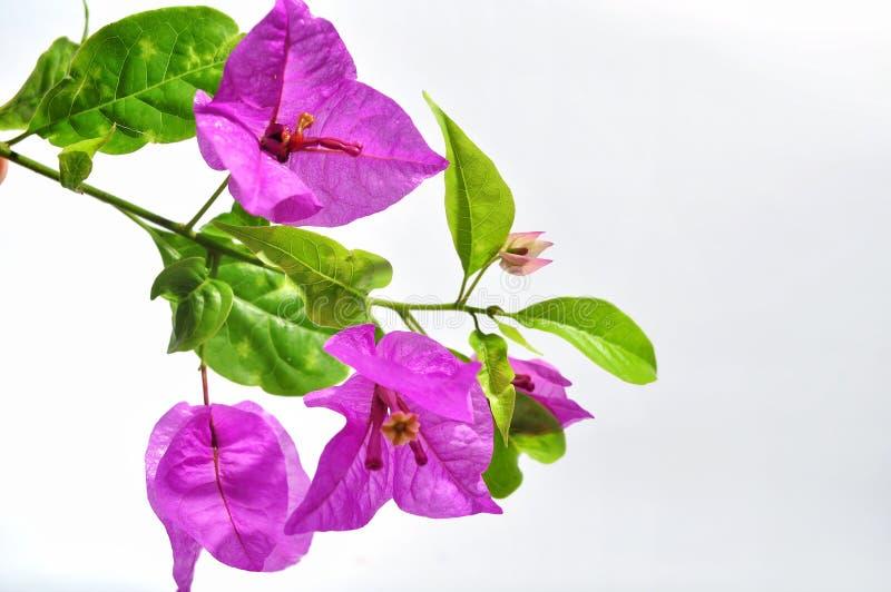 Flores de la buganvilla aisladas en el fondo blanco fotos de archivo libres de regalías