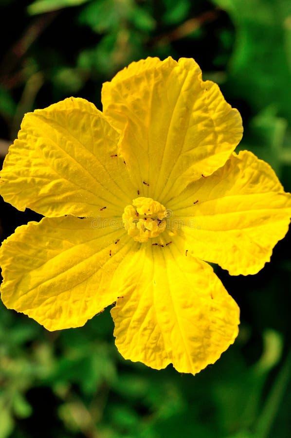 Flores de la calabaza fotos de archivo