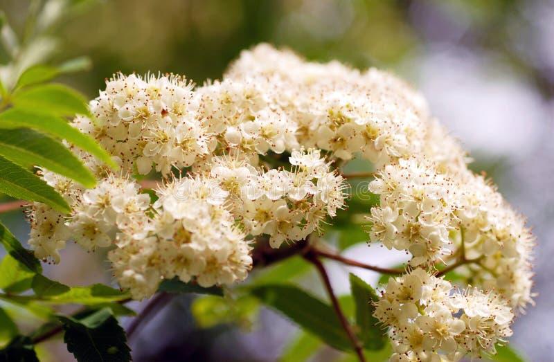 Flores de la ceniza de montaña. Macro imagenes de archivo