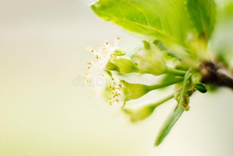 Flores de la cereza con el primer de las hojas, los pistilos y los estambres, tema de la primavera espacio para el texto, foco se imagenes de archivo