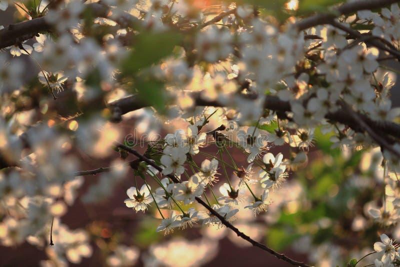 Flores de la cereza en la puesta del sol fotos de archivo