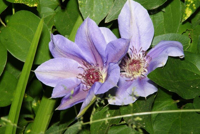 Flores de la clemátide púrpura entre las hojas verdes imagen de archivo libre de regalías