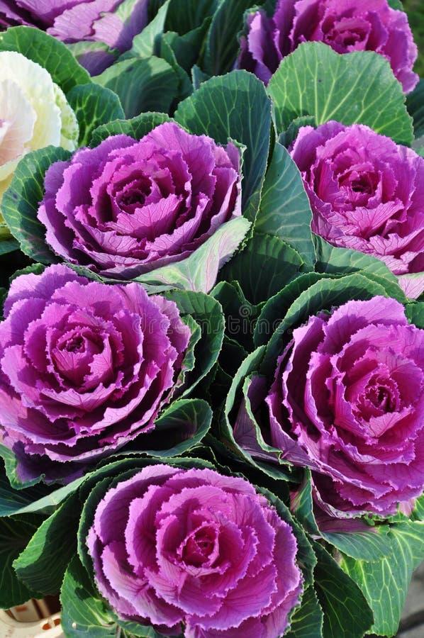 Flores de la col fotografía de archivo libre de regalías