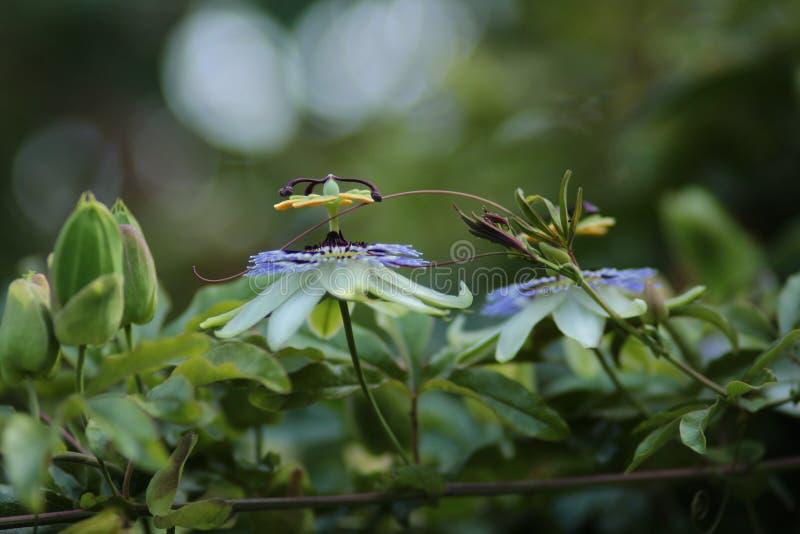 Flores de la correhuela en cierre de la planta encima del nivel del ojo fotos de archivo