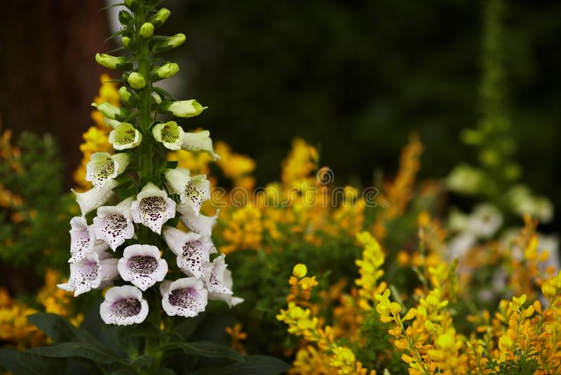 Flores de la dedalera foto de archivo